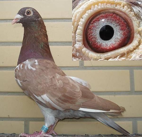 慕利門13-833公鴿.JPG