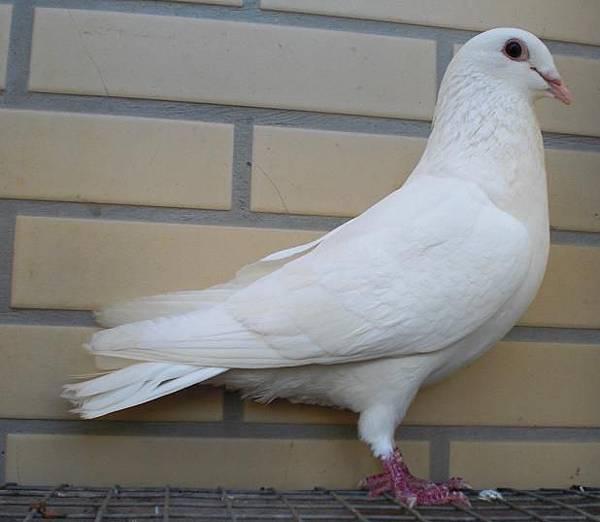 白色炫風 2012白羽♂鴿 中長型 非常優秀的白公鴿 售2800元含巨航快遞運送 特惠專案 購買白公鴿者再+199元贈送詹森石斑幼♂鴿