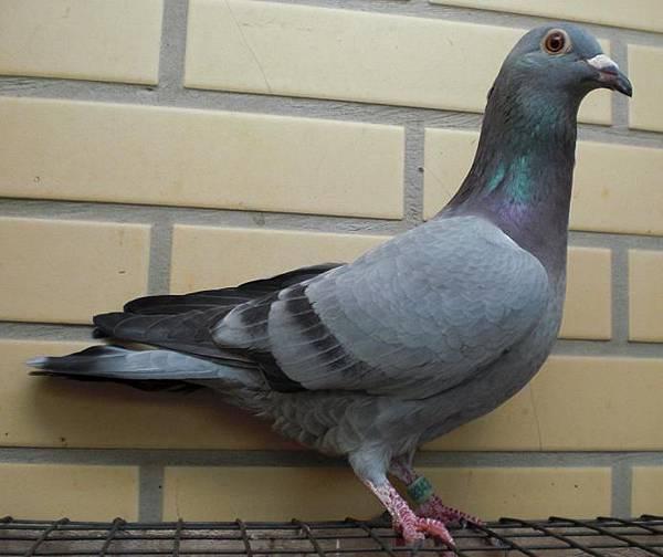 詹森系 2013-420石板羽♀鴿中型 喜愛請留言