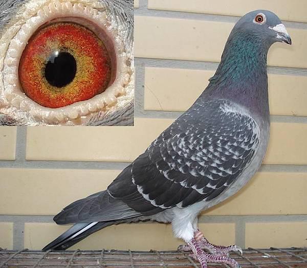 鐵漢-A 范阿爾罕系 2009斑羽♂鴿 中長型 精選鴿