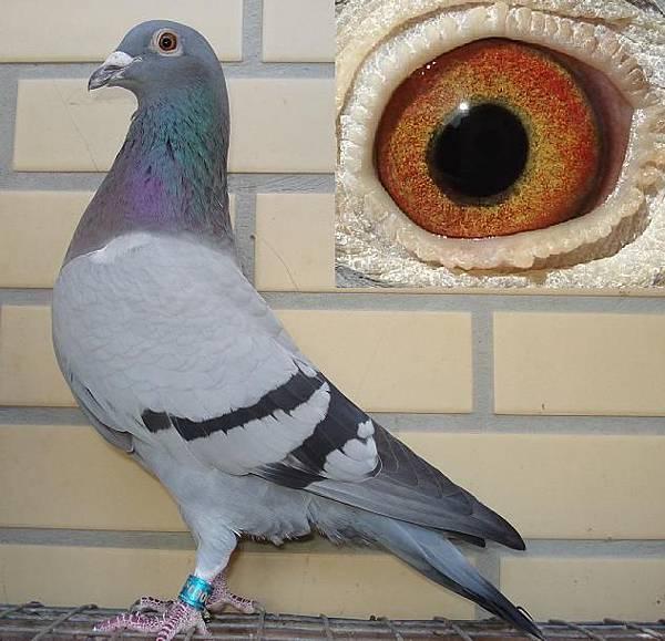 考夫曼 12-039灰羽♀鴿 中型