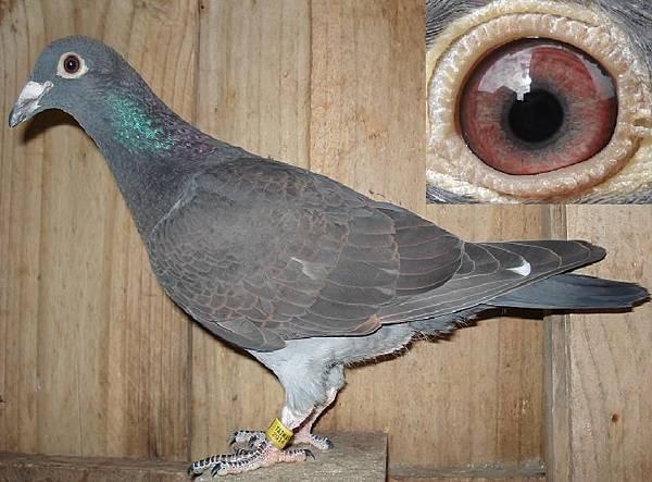 黑卒過河 戈登系2014-320黑羽 西眼♂鴿 中長型