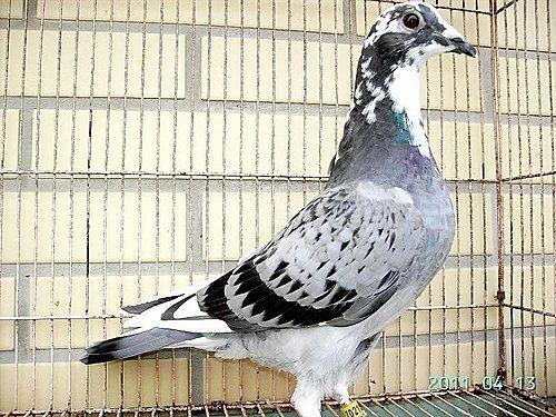 11-16斑母鴿
