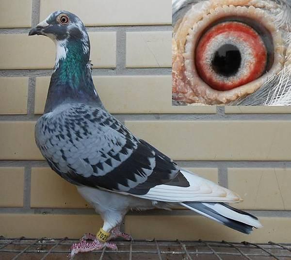 精選 HVR 2011-116斑白羽♀鴿 中型