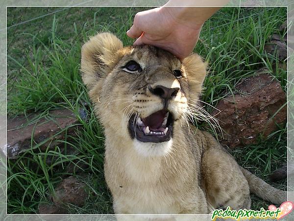 獅子討摸摸~