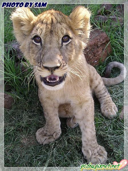 可愛的小獅子~