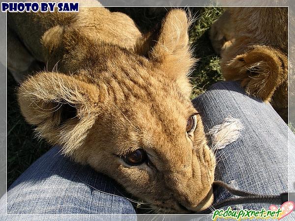 我也小讓小獅子趴在我腿上~喵...
