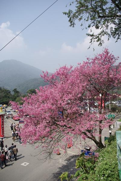 一到第一停車場,迎進眼廉的就是這顆茂盛的櫻花.JPG