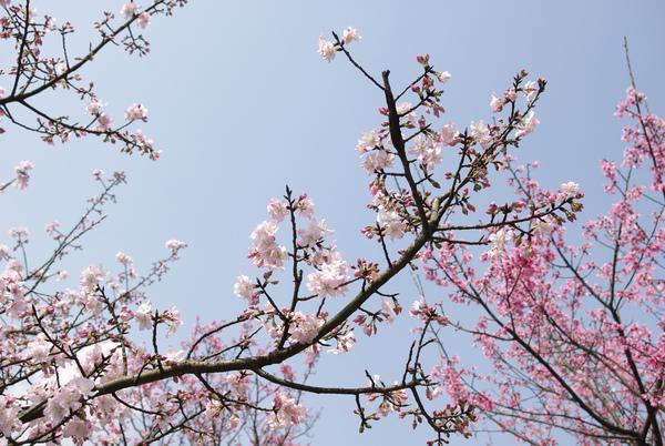 雖然山櫻花己經盛開,但吉野櫻有些還在含苞待放呢.JPG