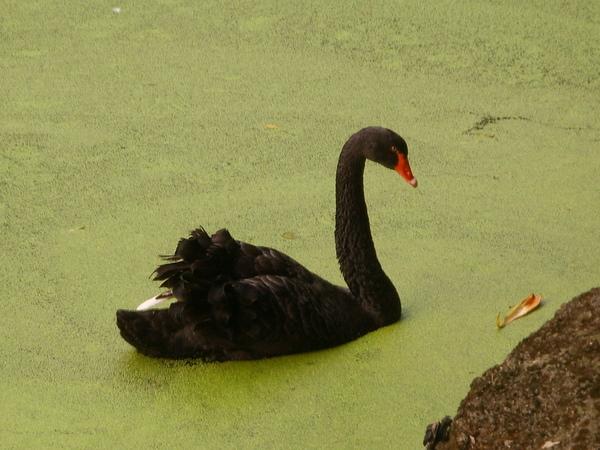 美麗地黑天鵝