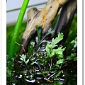 黑木蕨水上葉2.JPG