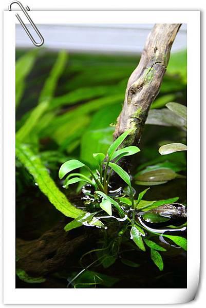 椒草水上葉2.JPG