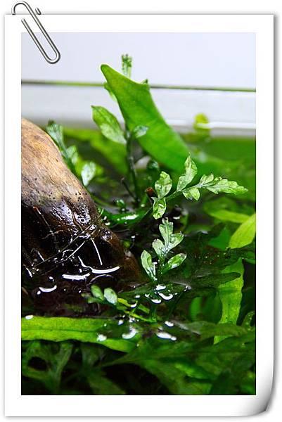 黑木蕨水上葉1.JPG