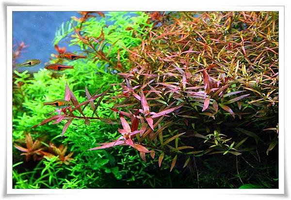紅色水草.JPG