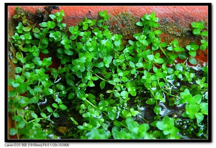 珍珠草的水上葉2.JPG