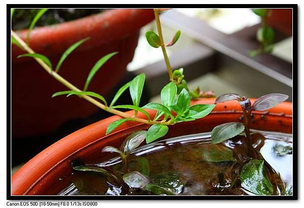 小紅苺水上葉.JPG