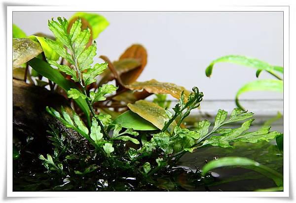 黑木蕨水上葉3.JPG