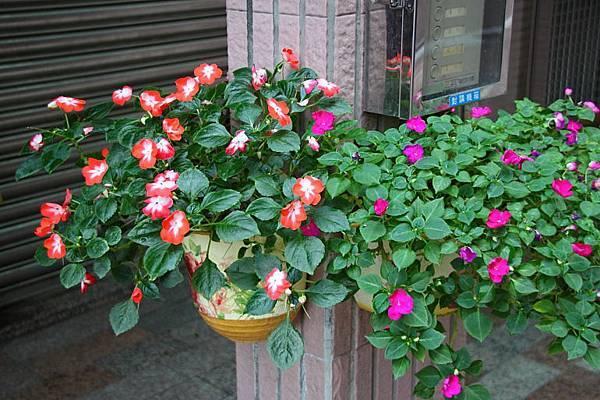 老婆種的花.JPG