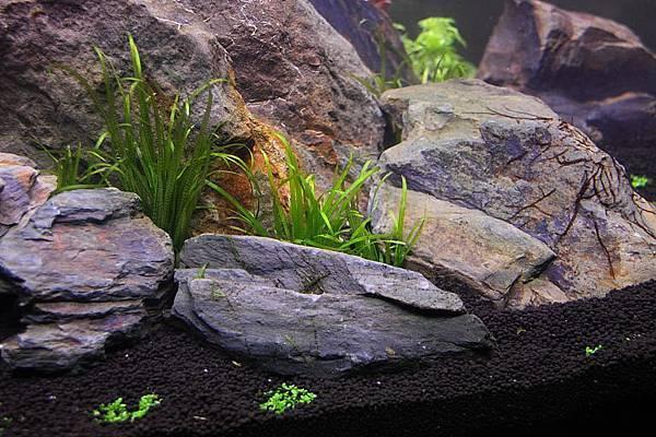 日本簀藻.JPG