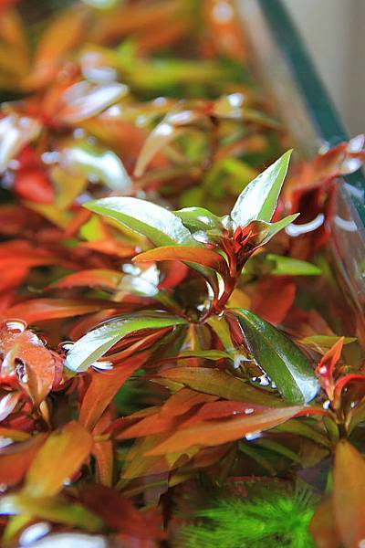 葉底紅水上葉2