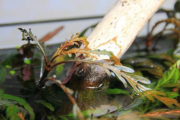 聖甲蟲頂水1
