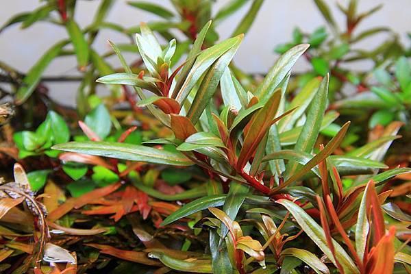 非洲紅柳水上葉1