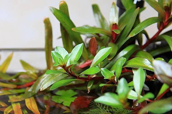 葉底紅水上葉1