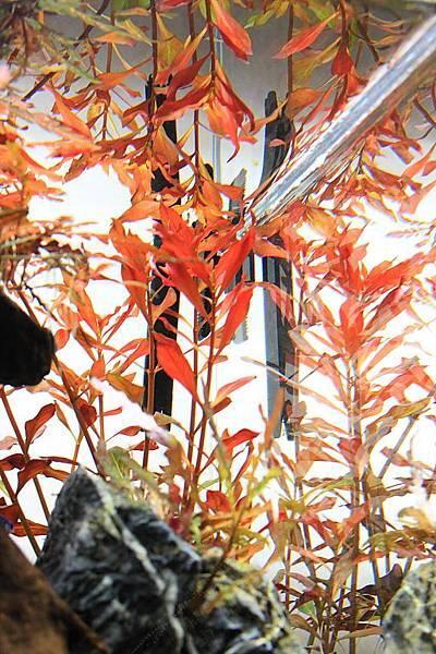 葉底紅頂水