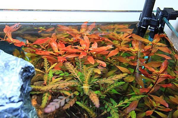 葉底紅頂水2
