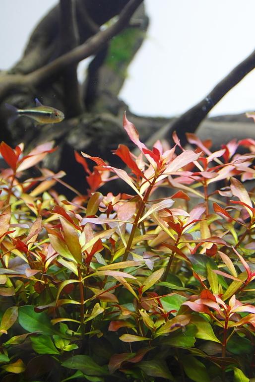 葉底紅水中葉