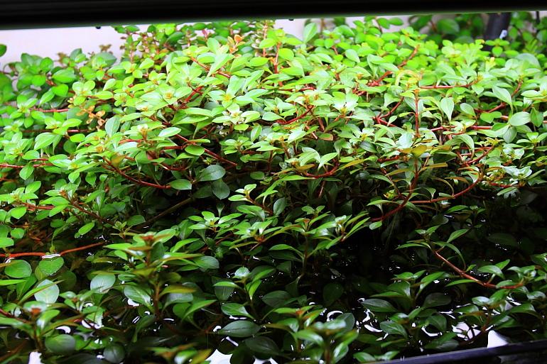 贈送葉底紅水上葉2