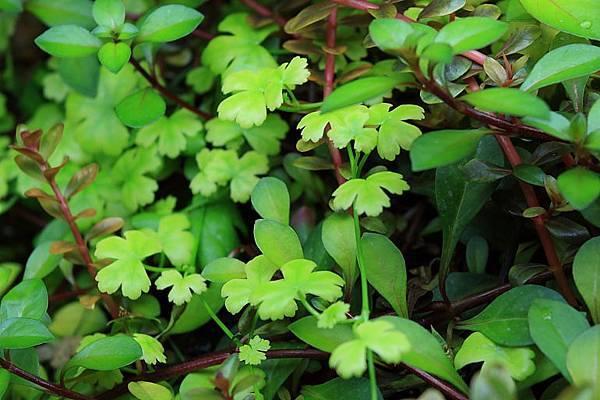 澳洲天胡荽水上葉1