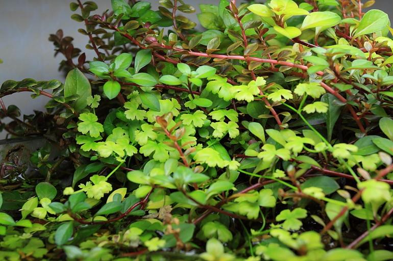 混植多種水上葉