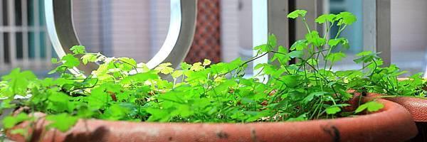 澳洲天胡荽水上葉3