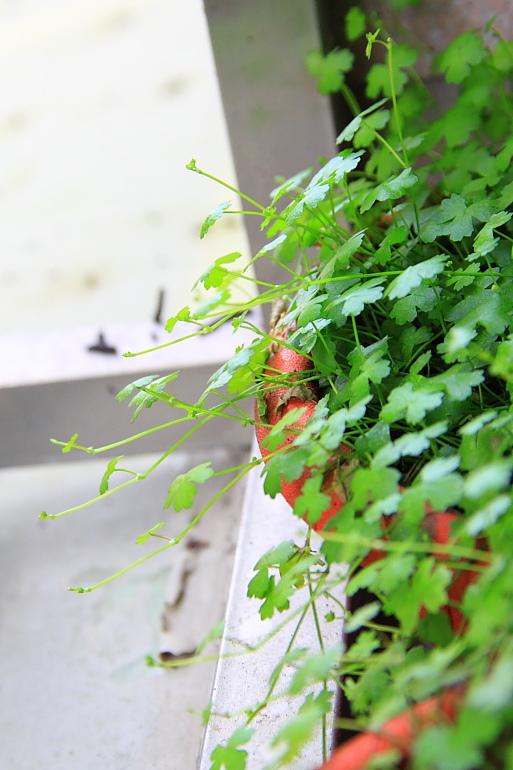 澳洲天胡荽水上葉2