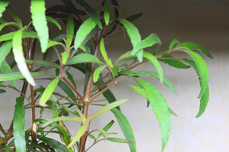 小柳水上葉1