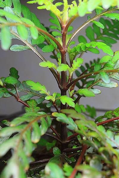 聖甲蟲側芽2