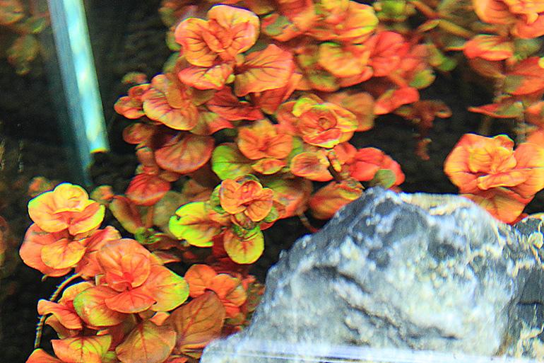 紅蝴蝶水上葉