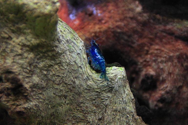 藍色小蝦米1