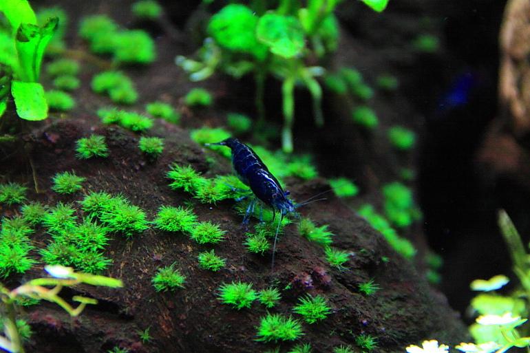 藍色小蝦米2
