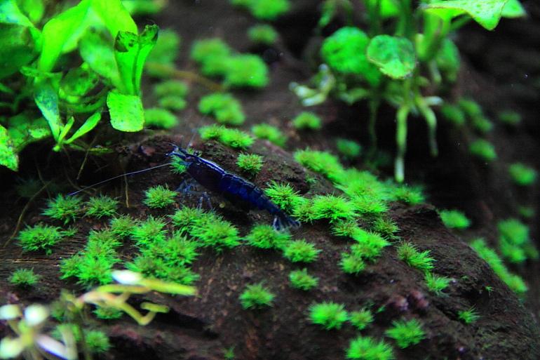 藍色小蝦米3