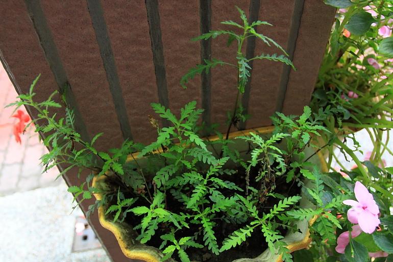 聖甲蟲水上葉1