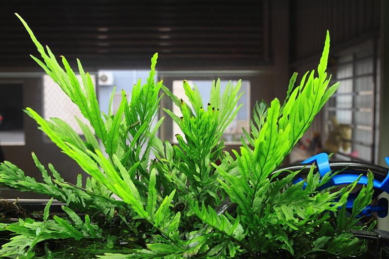 黑木蕨水上葉