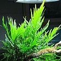 黑木蕨水上葉2