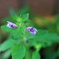 聖甲蟲開花1