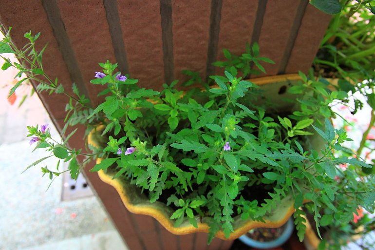 聖甲蟲盆栽