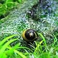 蜜蜂角螺770
