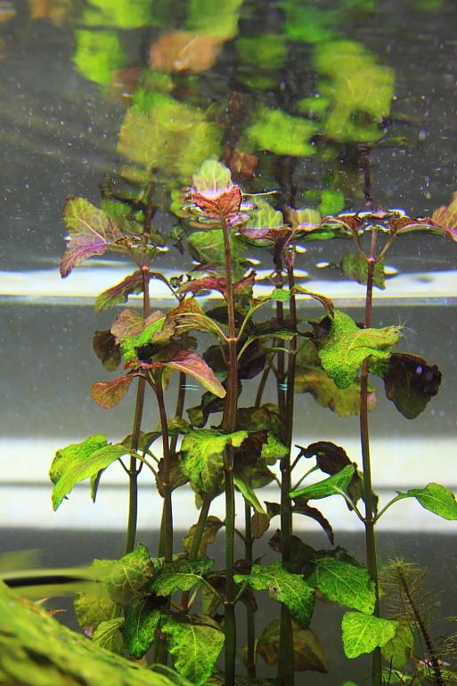 水中的彩葉薄荷