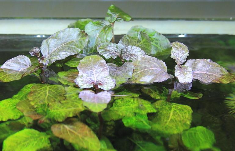 彩葉薄荷水上葉