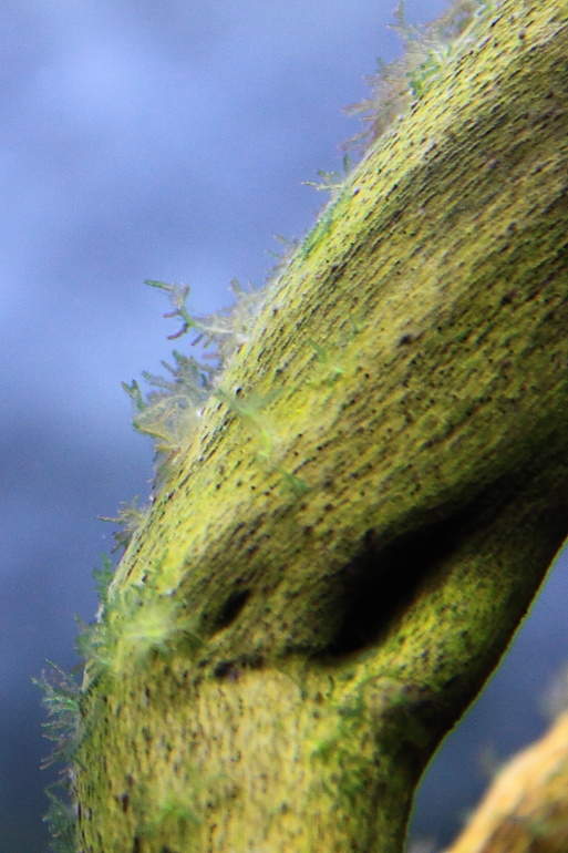第二天鹿角藻白化